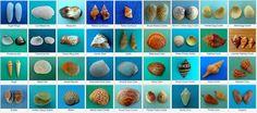 Seashell identification for Sanibel Island and Captiva Island.