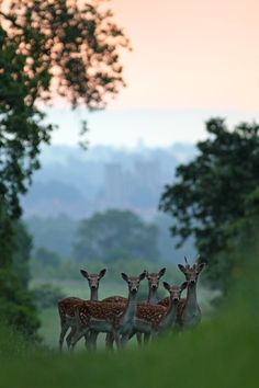 A group of young Fallow Deer at dawn on a misty morning.  Thanks for looking.