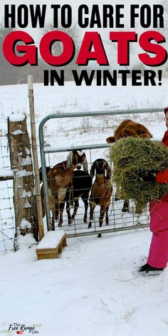 Caring for goats in winter can have its challenges. Goats are very hardy animals, but you do need to aware of the differences between caring for goats in warm weather and caring for them in cold weather- especially when there is snow on the ground or in very cold temperatures. A must read for anyone who raisies goats