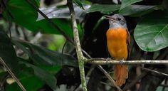 Attila rufous ~ neo-tropical bird . Cornell.edu