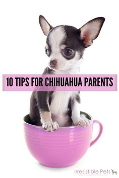 10 tips for chihuahua parents (Yes, they need sweaters. Keep floors clean or these low to the ground, small stomach dogs will overindulge. Train and socialize!)
