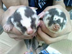Melogale  baby Javan Ferret Badger (Melogale orientalis)