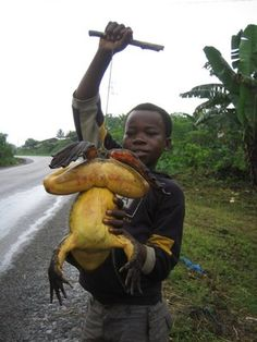 The largest frog in the world, the Goliath frog of West Africa