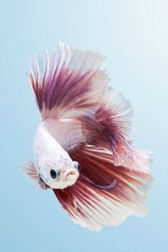 How Long Do Betta Fish Live? years is a common life-span of a domesticated betta fish, nonetheless approximately 6 years is very achievable as well as 10 can be done! You simply should make certain you could provide your . Pretty Fish, Beautiful Fish, Hello Beautiful, Beautiful Creatures, Animals Beautiful, Cute Animals, Colorful Fish, Tropical Fish, Betta Fish Care
