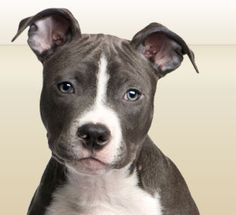 Learn the facts on this often-misunderstood breed. We've assembled a wealth of information on their traits, tendencies, and unique qualities, as well as a variety of tools to test your pit bull IQ!