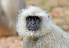 Northern Plains Gray langur (Semnopithecus entellus) by Photograph Tom Kogut Primates, Mammals, Madhya Pradesh, National Parks, Odd Animals, Grey, Bhutan, Monkeys, Nepal