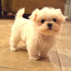 Yes. I am definitely getting a Maltese. No. I am not ever going to change my mind. #cutenessoverload