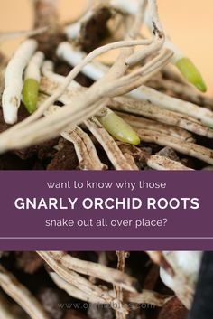 Become the perfect orchid water-er simply by understanding orchid roots. If you know orchid roots, you& never over, or under water orchids again. Orchid Plant Care, Orchid Plants, Air Plants, Garden Plants, Indoor Plants, House Plants, Potted Plants, Orchid Flowers, Indoor Orchids