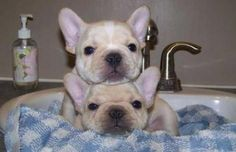 Frenchie pile
