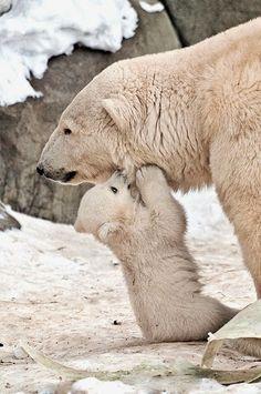 Ideas For Baby Animals Wild Polar Bears Animals And Pets, Baby Animals, Cute Animals, Wild Animals, Baby Giraffes, Beautiful Creatures, Animals Beautiful, Baby Polar Bears, Love Bear