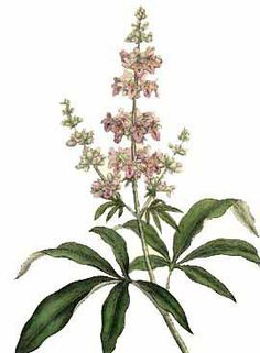 AGNUS CASTUS Essential Oil has been traditionally used for female hormonal problems, relaxing nervous tension and helping to stop cramps, breast pain and swelling typically for the easing of menstrual discomfort and menopausal effects. It is highly regarded for its decongestant action and its calming effect on the liver, uterus and intestines.  http://www.luminescents.net/product/agnus-castus-essential-oil/
