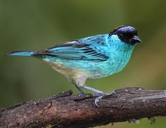 Golden-naped Tanager (Tangara ruficervix),  Bolivia, Colombia, Ecuador, and Peru. Photo: James Ownby.