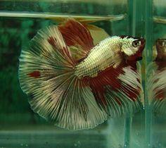AquaBid.com - Item # fwbettashm1341189568 - +++ Copper Gold Fancy HM male +++ - Ends: Sun Jul 1 2012 - 07:39:28 PM CDT