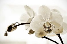 White Phalaenopsis Orchid Photography black and by MaleahTorney, $32.00