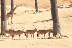 Safari tree protection Lion, San Diego Zoo, Animal House, Safari, Horses, Animals, Tigers, Leo, Animales