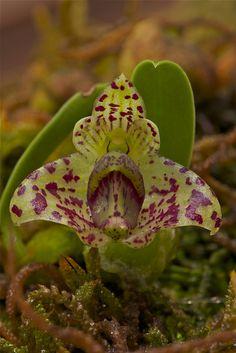 Bulbophyllum Agastor | 5767584580_2dd5edd996_z.jpg