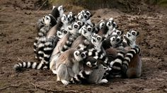 The Stinkiest, Smelliest Animals in The World - What are the smelliest animals that you know? Well, most of the smelly animals use their foul smell as the defense mechanism. Madagascar, Safari, Travel Advise, Animals Of The World, Cute Funny Animals, Africa Travel, Animals Beautiful, Travel Inspiration, To Go
