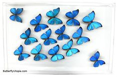 Blue Morpho Flight butterfly framed art, pictures, display,