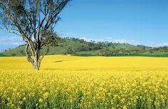 Canola crop near Ardlethan, NSW.