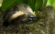 BBC Nature - Pygmy three-toed sloth videos, news and facts