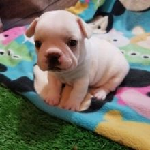 Browse The Widest Most Trusted Source Of French Bulldog Puppies