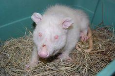 Albino possum