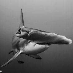Hammerhead Shark photo by Alan C Egan.