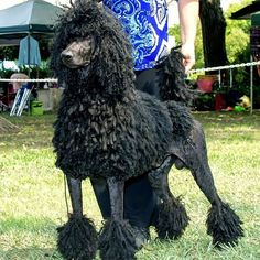 Isn't this boy handsome? It's my boys dad and I can't help but love the look of his cords even though they have a long way to grow. Such a wonderful temper!  #poodlesofinstagram #standardpoodle #poodle #spoo #cordedpoodle #dreads #dogs #dog #standardpoodles #standardpoodlesofinstagram #showdogs #rastadog #poodlesarethebest