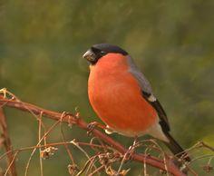 goudvink - Vogels (ijsvogel, koolmees, vink) - goudvink  Fotograaf: Boshuis