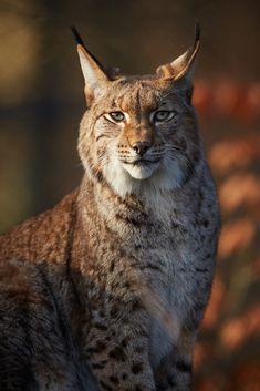 ~~Lynx Portrait by generalstussner~~