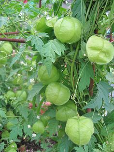 "This fast growing (to 10') vine is generally grown as an annual & bears tiny white flowers followed by 1.5"" across seed pods that look like little green puffs. The pretty pods float like bubbles from every node & the effect is charming & ornamental."