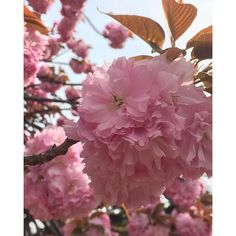 【kayoccoo】さんのInstagramをピンしています。 《. #新宿御苑#桜#cherryblossosms》