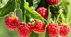 Himbeerenpflege – die drei häufigsten Fehler Raspberry care - the three most common mistakes Raspberry Bush, Raspberry Plants, Amazing Gardens, Beautiful Gardens, Root Color, Plant Zones, Tree Pruning, Rose Trees, Low Maintenance Plants