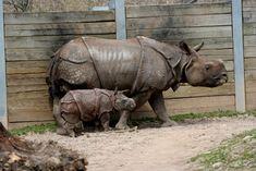 Rinocerontes en el zoo