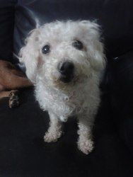Sassy is an adoptable Poodle Dog in Watertown, CT. How cute is little Sassy? She was surrendered to our care when her owner passed, and she is currently in foster care but would love a home of her own...