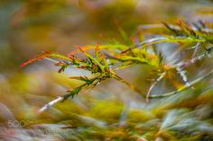 Girasol Japanese maple Smooth Japanese maple Fächer-Ahorn Schlitzahorn Acer palmatum by Claudia-G-Kukulka
