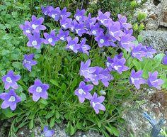 Campanula bellidifolia - Alpine bellflower Pool Plants, Tropical Plants, Ale, Ale Beer, Ales, Beer