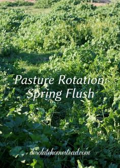 Spring flush is in full swing this year. Let's be grateful for the abundance and let the animals graze fresh grass. | desolatehomestead.com