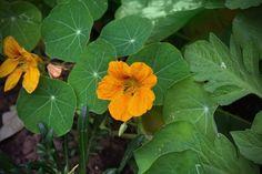 Cultiver des fleurs comestibles