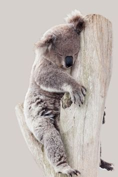 KOALA BEAR SET OF 2 HAND TOWEL EMBROIDERED RARE by laura