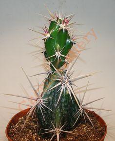 Opuntia invicta Cactus Gallery Opuntia Cactus, Prickly Pear Cactus, Cactus Y Suculentas, Succulent Hanging Planter, Succulent Terrarium, Cool Succulents, Planting Succulents, Bonsai Plants, Cactus Plants