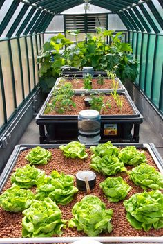 Here's a look at our sister company's, Greenhouse (Aquaponics USA) on June 20, 2013. We call the Zucchini plants in the back the Queens of the Greenhouse.