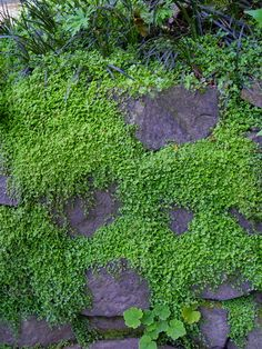 Soleirolia soleirolii Baby's Tears - stepable plant that looks like moss - kids would love this!