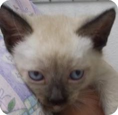 Salem, OR - Siamese. Meet French Fry, a kitten for adoption. http://www.adoptapet.com/pet/11254609-salem-oregon-kitten
