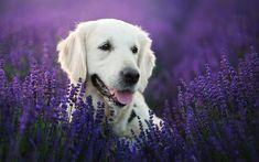 Golden Retriever, lavender, labradors, dogs, pets, cute dogs, Golden Retriever Dog