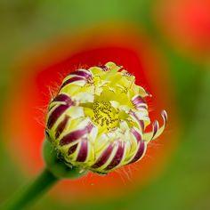 flower bud by Michel  ZAREBSKI on 500px