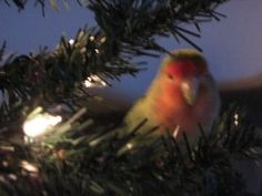 Iki in a Christmas tree. Lately I have been thinking that I must always have a bird in my life. Birds, all birds, bring a magic element I had never imagined before. They actually have as much personality, if not more in many ways, as a dog or cat. It is hard to believe I know. I got my little guy about 10 years ago now and he has changed my thinking about all animals really. Now when I look outside and recognize interaction between wild birds, I smile at their behavior because it is so like…