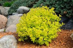 Strategy, secrets, plus manual beneficial to receiving the most effective end result and also ensuring the optimum utilization of Outdoor Landscaping Ideas Front Yard Dwarf Plants, Buy Plants, Garden Plants, Planting Shrubs, Flowering Shrubs, Landscaping Plants, Outdoor Landscaping, Landscaping Ideas, Landscaping
