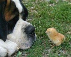 【巨大犬と】セントバーナードのほのぼの画像・動画集【ベビー】 - NAVER まとめ