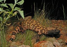 Did you know that the Gila monster is the largest lizard native to the United States? Learn how changing climate in Gila County affects this reptile's habitat in this month's Climate Change Series. Read more here: https://greenlivingaz.com/climate-change-series-gila-county/?utm_campaign=.&utm_medium=.&utm_source=pinterest